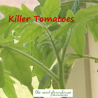 3 things you need to know about growing tomatoes that nobody ever tells you