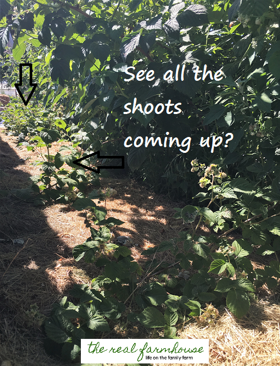 How we spent $8 and ended up with a raspberry patch that produces over $400 each year