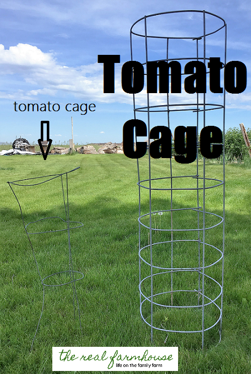 the difference between standard store bought tomato cages and huge sturdy homemade ones.