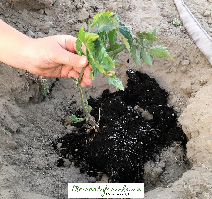 How to guarantee you'll have the first ripe tomatoes on the block! Plant them deep and cover the bottom half with dirt.