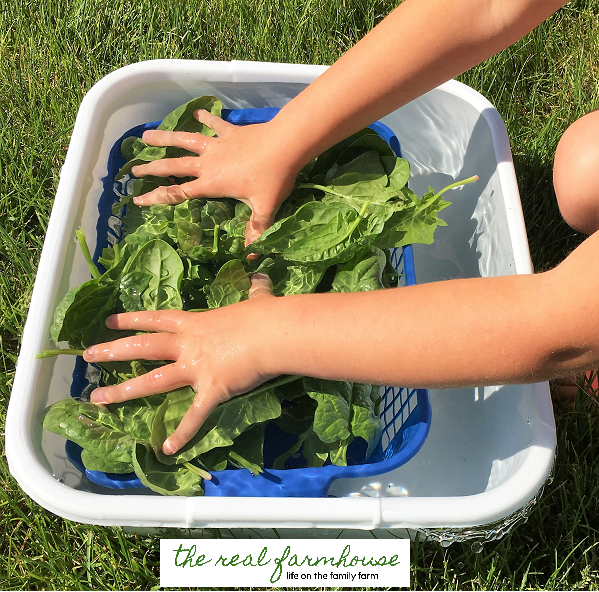 simply the easiest and fastest way to harvest and wash your garden greens