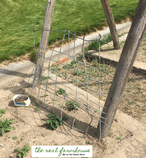 DIY cucumber trellis for FREE. complete tutorial with picture. Awesome DIY