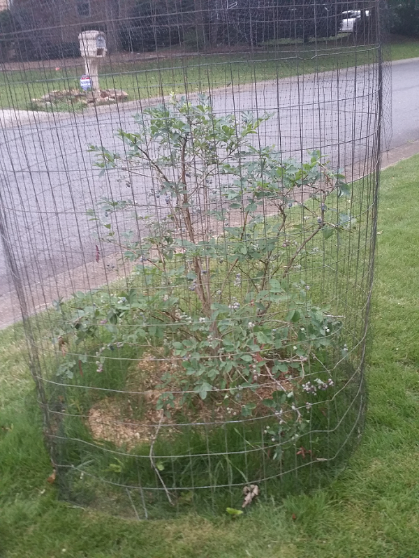 DIY blueberry cage to keep the birds off