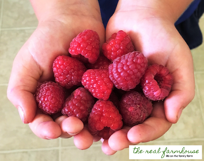 383b3a41d5e The 3 biggest factors in how big and juicy your raspberries get. Plus what  things