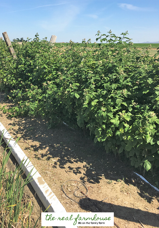The secret to getting your raspberry plants to stay exactly where you want them to.