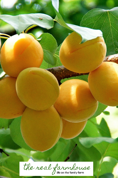 How to keep the bugs out of your organic fruit trees