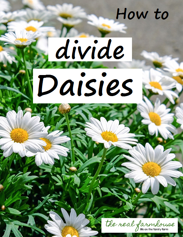 take one monster daisy plant and divide it into 20 small plants for FREE.