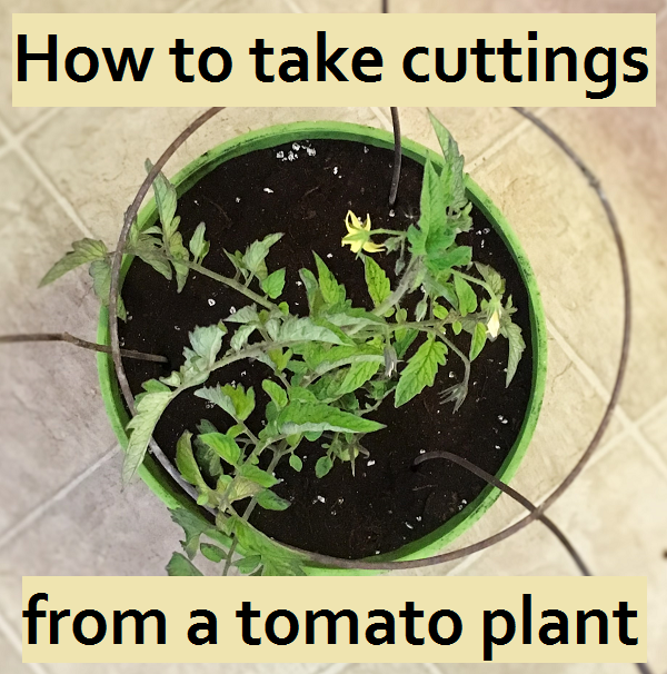 How to move your favorite tomato plant indoors for the winter