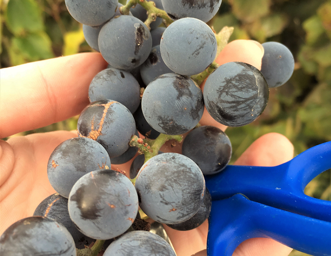 How to make your own organic grape juice